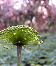 Hoa tam thất tươi Lào Cai